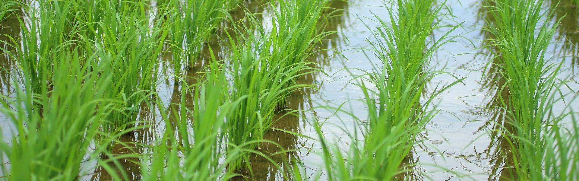 低農薬で安心・安全な米作りを心がけています
