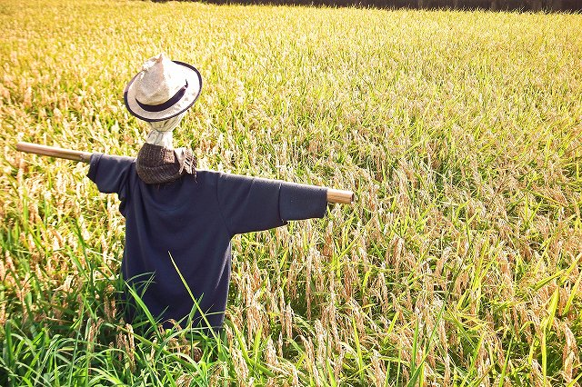 田んぼの中の案山子